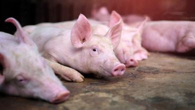 Россельхознадзор подозревает, что ветслужба и предприниматели из Ростовской области поставляли в организации мясо от больных АЧС свиней