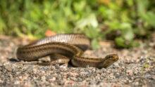 13 случаев сальмонеллёза в Норвегии связали со змеями