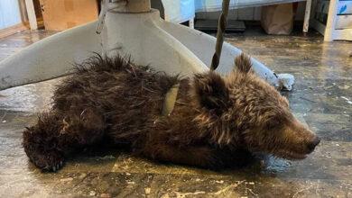 Полумёртвого медвежонка спасают в Фонде зоозащиты «Спаси меня!»